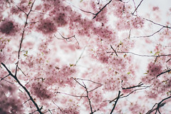 Dreamy (freyavev) Tags: pink flowers nature germany deutschland 50mm spring outdoor pastel branches blossoms cherryblossoms dreamy leonberg blooming rosy badenwürttemberg
