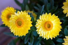 Enlight my day (Pensive glance) Tags: plant flower nature fleur plante aster everlasting immortelle
