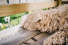 Dreams - Drmmar [explored] (Fredrik Forsberg) Tags: sleeping dog flower wooden sweden stockholm weekend dreaming deck resting parentshouse siri irishsoftcoatedwheatenterrier drommar fotosondag fs160501