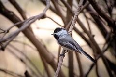 Disheveled Chickadee (Kurayba) Tags: park ca canada black bird creek team edmonton pentax full f alberta chickadee frame ravine mode capped ff 4k 80200 k1 blackcapped whitemud pentaxf f4756 smcpf80200mmf4756