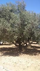 Olivo (Cofradeus) Tags: espaa turismo olivo navalcarnero