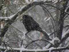 Crow in the snow (cod_gabriel) Tags: winter snow romania crow bucharest bucuresti bukarest roumanie boekarest iarna zapada romnia bucureti ninsoare zpad iarn