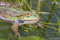 Grenouille verte (Dicksy93) Tags: portrait france green nature water animal canon eos eau europe outdoor wildlife vert yeux frog reflet 7d ng rana frosch extrieur chteau parc ef 100400mm 91 grenouille bulle kikker etang faune patte img0202 amphibien algue essonne aquatique wetreflection batracien morsangsurorge billebaude dicksy93