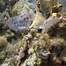 Reef Diving  Xpu Ha  Yucatan Peninsula Mexico Caesar Grunt Haemulon carbonarium