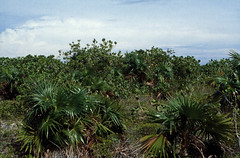 Bahamas 1989 (767) San Salvador (Rdiger Stehn) Tags: analog 35mm bush natur slide dia scan insel 1989 bahamas amerika 1980s landschaft sansalvador thebahamas karibik nordamerika mittelamerika contax137md kleinbild canoscan8800f kbfilm westindischeinseln outislands 1980er familyislands diapositivfilm