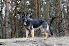 Rgen 2016 (dulli2010) Tags: wood dog pet tree dogs water tiere meer wasser outdoor hund germanshepherd rgen ostsee ruegen hunde tier dsh gsd prora deutscherschferhund