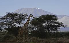 Masai Giraffe in front of Mt. Kilimanjaro - 9450b+L (teagden) Tags: africa wild mountain kilimanjaro mtkilimanjaro nature landscape nikon mt kenya african wildlife safari mount mountkilimanjaro tall giraffe masai tallest amboseli naturephotography kenyasafari africansafari africanwildlife africasafari masaigiraffe wildlifephotography africansavannah africantree amboselinationalpark kenyaafrica africanlandscape amboselikenya kenyawildlife jenniferhall jenhall africanphotography amboselikilimanjaro safarisunday kenyaplains jenhallphotography jenhallwildlifephotography dkgrandsafaris