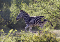 IMG_8127 (Kev Gregory (General)) Tags: africa mountain game mountains field river private bush african district south reserve sigma run safari zebra guide shaun 50500 gregory kev herd limpopo equus waterberg bushveld jenkinson burchells quagga burchellii thabazimbi marakele marataba motlhabatsi