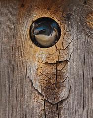 Tree Swallow (Circled Thrice) Tags: wild bird nature canon eos rebel colorado natural nest wildlife sigma denver aurora co swallow nestbox refuge nationalwildliferefuge t3i commercecity treeswallow rockymountainarsenal
