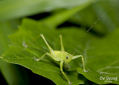 Katydid (Ow Yeong) Tags: katydid venusdrive singaporemacro owyeong owyeongyinleng
