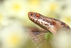 Female adder (Mike Mckenzie8) Tags: uk wild macro eye scale closeup dof reptile snake wildlife british herp vipera berus venemous