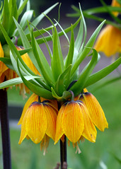 Wrocaw - Ogrd Botaniczny (tomek034 (Thank you for the 900 000 visits)) Tags: wrocaw ogrdbotaniczny fritillariaimperialisl szachownicacesarska cesarskakorona
