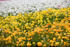 The Flower Fields at Carlsbad Ranch (Jun Bug) Tags: california ranch pink flowers blue red roses orange brown white black flower green yellow garden giant colours purple orchids sweet blossoms ranunculus bloom fields carlsbad pea oceanview petunias blooming the tecolote