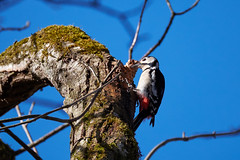 Spotted Woodpecker (Ailuropoda polychroma) Tags: blue sky tree bird nature animal woodpecker feeding fujifilm fujinon spottedwoodpecker sprucecone xt1 xf100400mmf4556rlmoiswr xf100400