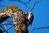 Spotted Woodpecker (Ailuropoda polychroma) Tags: blue sky tree bird nature animal woodpecker feeding fujifilm fujinon spottedwoodpecker sprucecone xt1 xf100400mmf4556rlmoiswr xf100400