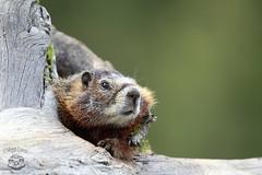 Marmot (Megan Lorenz) Tags: wild nature animal mammal wildlife marmot wyoming wildanimals grandtetonnationalpark yellowbelliedmarmot mlorenz meganlorenz