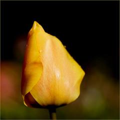 yellow.......... (atsjebosma) Tags: flower macro yellow bokeh thenetherlands tulip april groningen geel bloem tulp 2016 atsjebosma