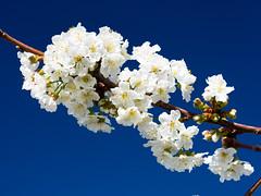 Cherry Blossoms in Mallorca (Christoph Strssler) Tags: es 169 mallorca spanien estellencs islasbaleares mallorca2016