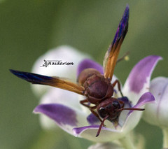 Wasp up! (haidarism (Ahmed Alhaidari)) Tags: flower macro nature animal bug insect wasp bokeh outdoor ngc depthoffield macrophotography sonya65