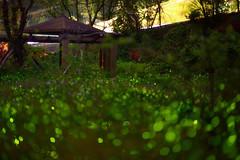 fireflies dancing (Vincent_Ting) Tags: closeup bokeh firefly  fantasty   zeiss100mmf2