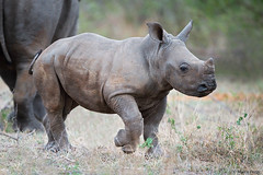 Rhino-dic.2015_8071b3 (Marco Pozzi photographer (750k+ views, thanks)) Tags: africa southafrica rhino krugernationalpark kruger pozzi rinoceronte whiterhino sudafrica babyrhino specanimal specanimalphotooftheday rinocerontebianco marcopozzi marcopozziphotographer