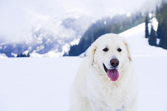 Everybody is waiting for summer, but he loves snowy winters. (balu51) Tags: schnee dog white mountain snow sunshine fog spring nebel hiking berge hund valley april weiss flims kuvasz wanderung sonnenschein winterlandschaft 2016 frhjahr graubnden wintereinbruch surselva wintercameback bargis guardingdog copyrightbybalu51