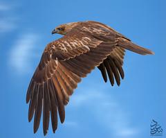 Black Kite (Saeed Lajami) Tags: india birds canon wildlife blackkite karnataka in mysuru