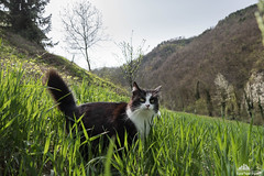 Spring Day Activity  (Xena*best friend*) Tags: wood wild italy pet cats pets animal animals trekking fur chats spring furry woods feline flickr outdoor tiger kitty kittens whiskers piemonte fieldtrip gato calico purr paws gatto katzen pussycat markings outing feral wildanimals zd piedmontitaly allrightsreserved bugsearching zivadavid wheatplantation efs18135mm searchingbugs ncisspecialagent canoneos760d digitalrebelt6s