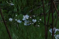 wild blackberries (pepperberryfarm) Tags: blackberry smcm135mmf35
