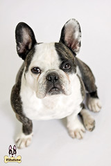 proppie7ml (fifa foto) Tags: dog pet cute french sweet bulldog