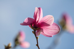 Magnolia (Infomastern) Tags: pink flower rosa magnolia blomma trelleborg geolocation geocity camera:make=canon exif:make=canon geocountry geostate exif:aperture=71 exif:lens=ef70300mmf456lisusm exif:isospeed=100 exif:focallength=277mm camera:model=canoneos760d exif:model=canoneos760d