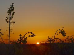 silhouette of rape seed P1010393 (hans 1960) Tags: sky sun colour sol nature silhouette sunrise germany landscape outside atardecer soleil spring outdoor natur himmel april landschaft sonne farben rapsfeld rapefield frhline
