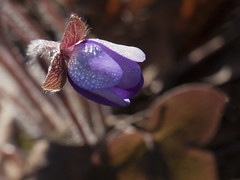 Rose (sosivov) Tags: flower macro droplets drops dew hepaticanobilis liverleaf