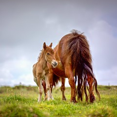 'Big Steve' And Mother (Abandoned) - Shetland Pony, Bodmin Moor, Cornwall. (johnlunt) Tags: camera uk portrait england horse brown lake color colour cute green tourism nature beautiful beauty field grass animal museum zeiss standing john square lens outside outdoors prime miniature spring inn cornwall mare looking natural little britain outdoor wildlife sony small watching young mother meadow spot tourist farmland 55mm pony pasture jamaica tiny chestnut alpha f18 moor staring equestrian tranquil isolated shetland equine bodmin tranquillity lunt foal a7r colliford johnlunt ilce7r