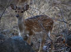 Baby Deer (cn174) Tags: india nationalpark tiger tigers rajasthan ranthambhore tigerreserve ranthambhorenationalpark ranthambhorebagh