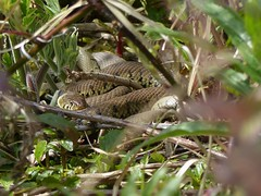 Grass Snake (ukstormchaser (A.k.a The Bug Whisperer)) Tags: sunlight grass animal animals bush afternoon reptile snake wildlife may milton keynes bushes snakes brambles reptiles basking natrix