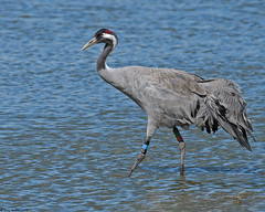 Crane : Grus grus (Jerry Hawker) Tags: nikon crane wwt d500 slimbridge grusgrus jerryhawker