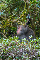 Harry_28956a,,,,,,,,,,,,, (HarryTaiwan) Tags: monkey nationalpark nikon taiwan    d800 nantou          yushannationalpark  formosanrockmonkey      harryhuang hgf78354ms35hinetnet adobergb