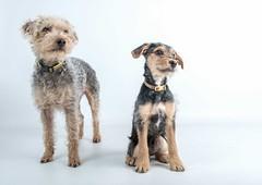 Freddie and Bowie (Chris Willis 10) Tags: portrait pet dogs animals bowie freddie wwwpaswforaphotocom
