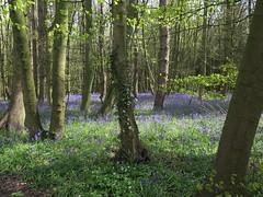 IMG_0186 (Joy Shakespeare) Tags: uk coventry woodlandtrust allesley elkinwood