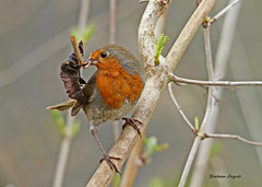 Robin with nesting materials. (ramarg60) Tags: robin material nesting