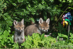 Youngsters (Lupo_Asatru) Tags: nature wildlife natur fox foxes vixen wildtier fchse fehe reinicke