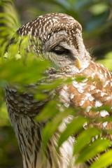 DUC_2876r (crobart) Tags: bird birds florida center owl prey raptors barred audubon maitland