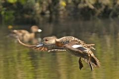 Grey Teal (Rodger1943 AWAY FOR A WHILE) Tags: ducks birdsinflight teals australianbirds greyteal fz1000