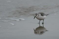 _HNS6639 Drieteenstrandloper : Becasseau sanderling : Calidris alba : Sanderling : Sanderling