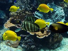 Hagenbeck Aquarium, Hamburg (wattallan594) Tags: travel fish yellow germany aquarium europe hamburg tang hagenbeck