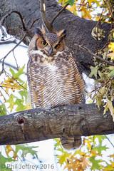 Great Horned Owl (phil.jeffrey) Tags: nyc newyorkcity ny newyork bird nature centralpark manhattan wildlife northamerica owls avian greathornedowl strigiformes theramble bubovirginianus strigidae