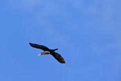 Grand Cormoran (Phalacrocorax carbo) (yann.dimauro) Tags: france animal fr extérieur oiseau rhone rhônealpes givors ornithologie