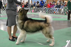 Malamute in the Ring IKC 2016 (kaysha54) Tags: malamute ikc