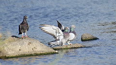 Pigeon's Landing Motion (Johnnie Shene Photography(Thanks, 1Million+ Views)) Tags: wild people motion colour macro bird nature animal horizontal canon lens photography eos rebel still interesting wings focus scenery kiss stream natural image zoom outdoor no pigeon dove wildlife pigeons group birding scenic sigma tranquility scene apo full landing gathering theme limbs moment flapping awe 70300mm length flap tranquil doves freshness dg stationary foreground 456 t3i x5 70300 grouped perching columbidae  fragility 600d f456  columbiformes   behavoiur